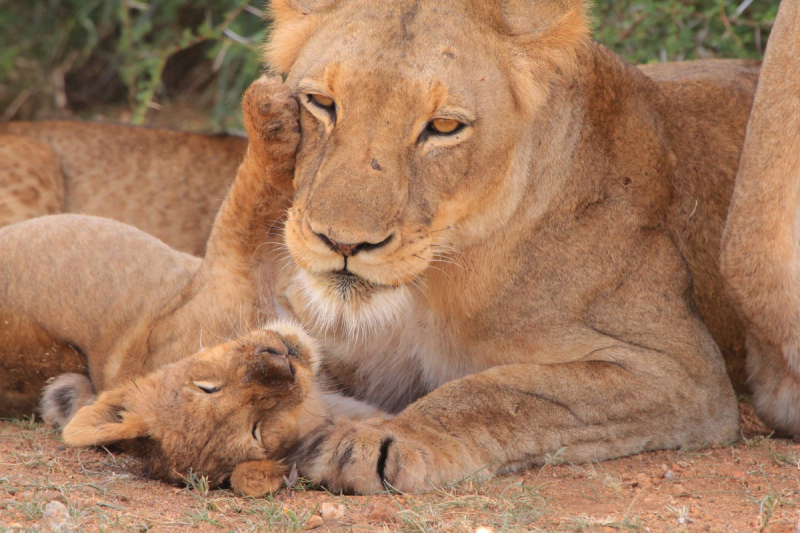 Cub_mother_young_nest_nature_love_mother_and_child_young_animal-616295.jpg!d